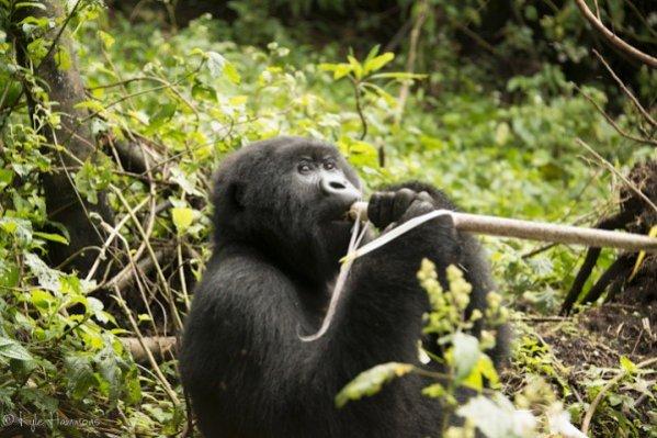 Virunga Mountain Goorillas