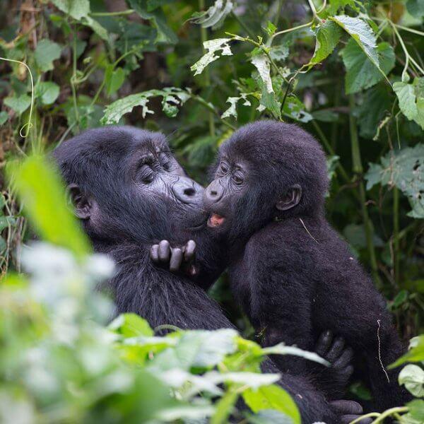 Gorilla families in Rwanda.