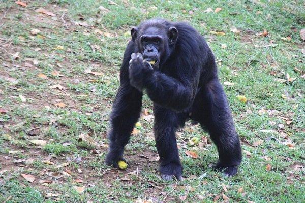 Uganda's Oldest Chimp Dies At 54