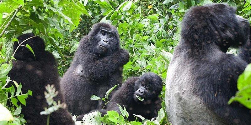Mgahinga Gorilla Safari