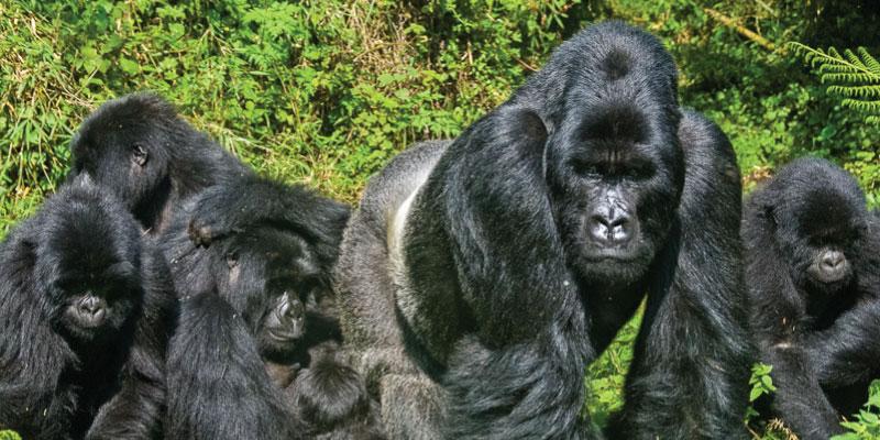 Mgahinga Gorillas and Golden Monkeys Safari