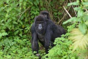 4 Days Mgahinga Gorilla