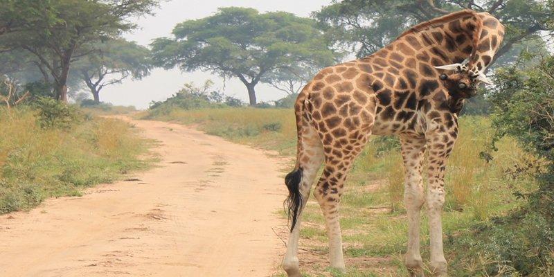 6 Days Uganda Gorilla Trekking and Wildlife Safari