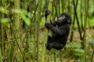 Rwanda gorilla trekking safari.