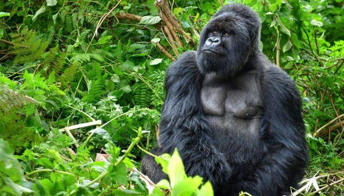 1 Day Gorilla Trekking Uganda