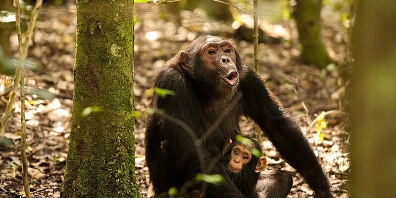 5 Days Uganda gorillas and Chimpanzee