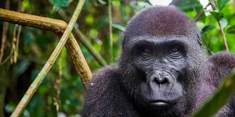 3 Days Congo Lowland Gorilla Tour