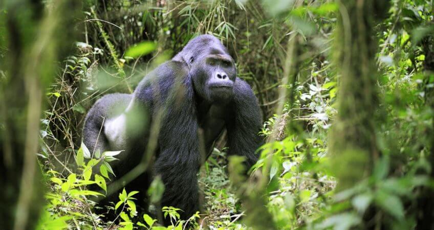 Ultimate Guide To Gorilla Trekking