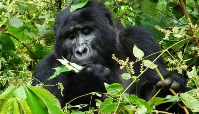 1 Day Gorilla Tour Rwanda