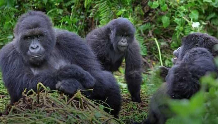 1 Day Rwanda Gorilla Trekking