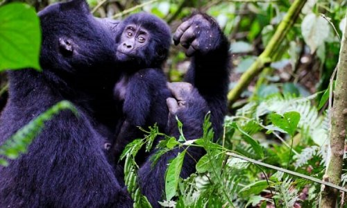 Primate trekking in Rwanda