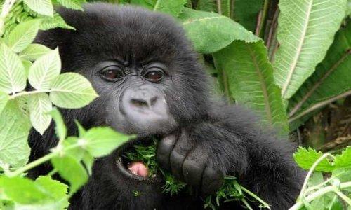 3 Days Rwanda Gorilla Trekking