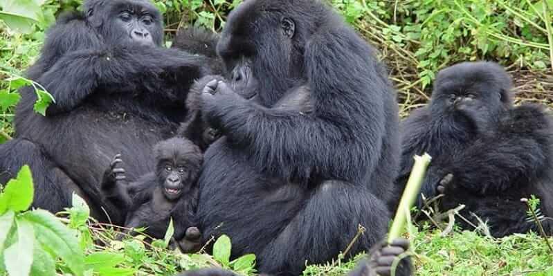 Best Country To Visit For Gorilla Trekking