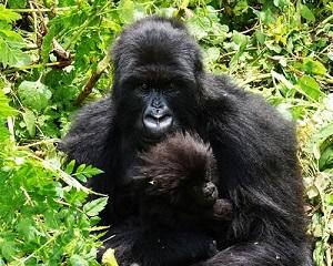 12 days Uganda Rwanda gorilla