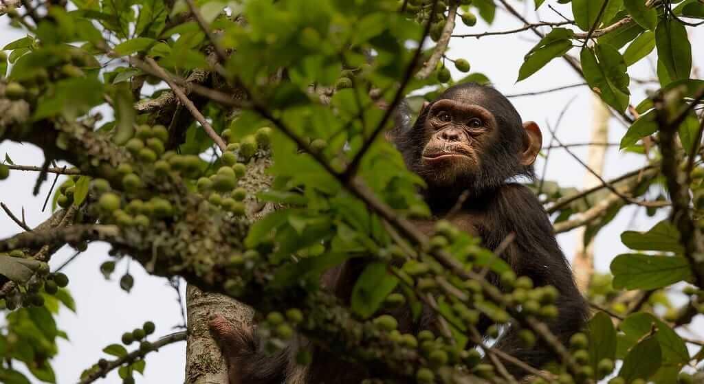 Chimpanzee Trekking Safaris