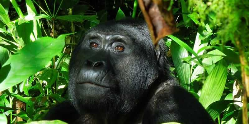 Planning A Gorilla Tour Do It Yourself Guide