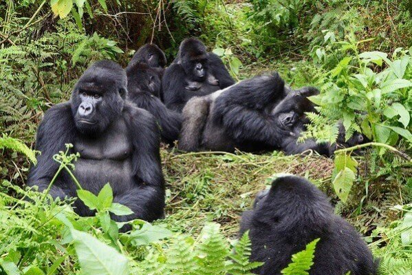 Discounted Gorilla Permits