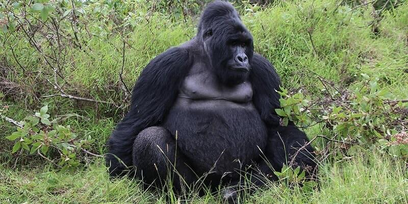 Why Gorilla Trekking Is So Expensive
