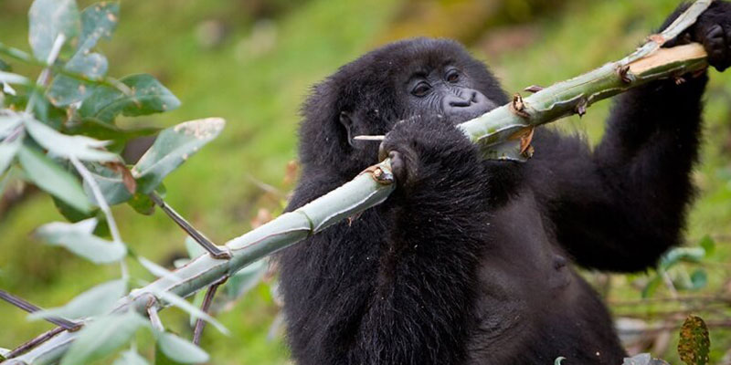 7 Interesting Facts About Mountain Gorillas