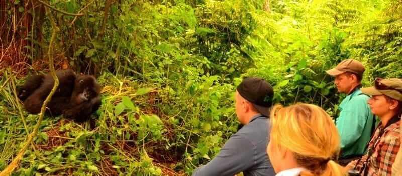 How Difficult Is Gorilla Trekking In Rwanda Or Uganda