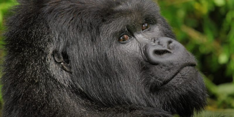 Face of a Mountain Gorilla in Volcanoes, National Park Rwanda