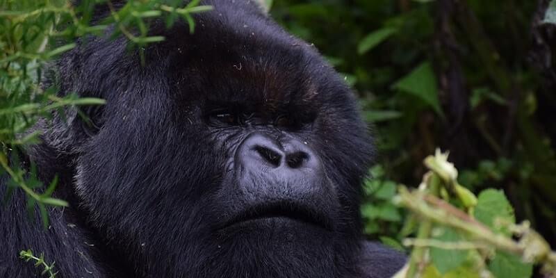 What Is The Best Time To Go Gorilla Trekking In Rwanda?