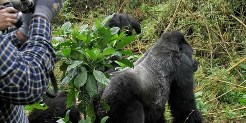 Is Gorilla Trekking Safe In Rwanda And Uganda