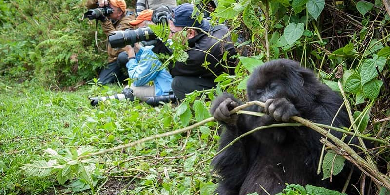 How difficult is gorilla trekking