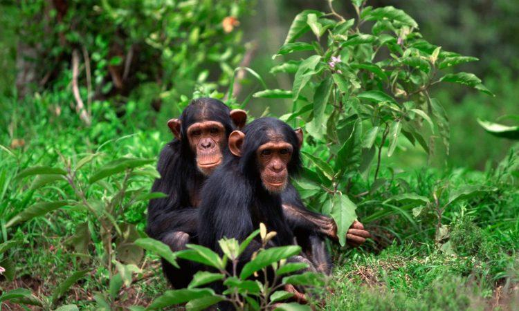 1 Day Chimpanzee Trekking In Rwanda