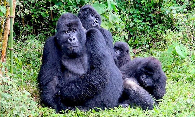 4 Day Rwanda Gorilla & Chimpanzee Tour