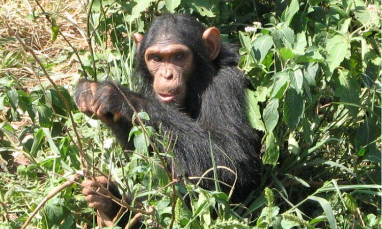 6 days Gorilla and Chimpanzee trekking safari