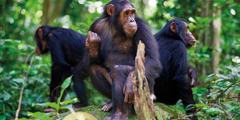 Tips For Chimpanzee Trekking