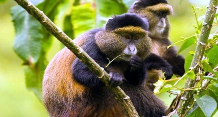 The Frequent Inquiries On Golden Monkey Trekking.