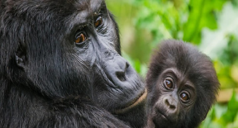 Tracking Mountain Gorillas