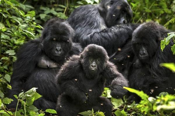 Titus gorilla family