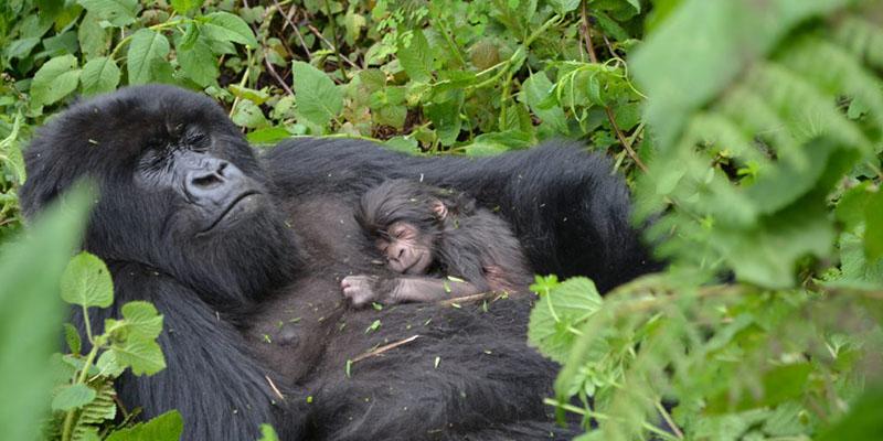 The 5 Major Movement Mechanisms Of Gorillas