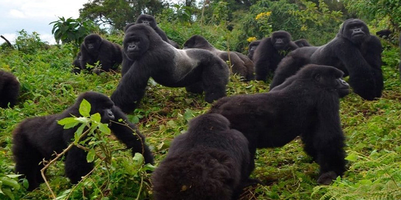 How Old Should A Child Be To Trek Gorillas?
