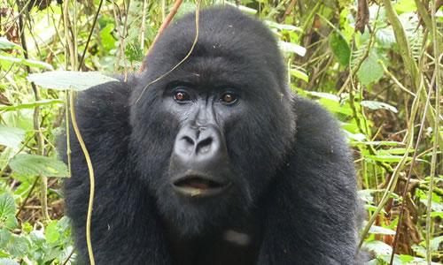combined gorilla tour