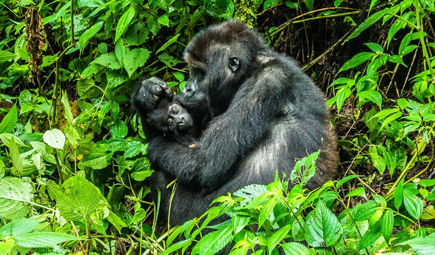 3 Days Luxury Gorilla Trekking Safari to Rwanda